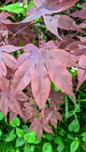 Here is a Japanese maple leaf showing how it looks like the palm of a hand with its fingers open.