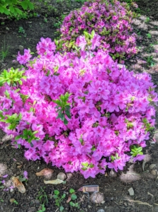 The best time to shop for azaleas is when they are in bloom so you can see their flower colors and forms. Azalea 'Violetta' blooms are the most astonishing pink flowers. 'Violetta' is great for beds and borders, containers and areas that need color. I planted several of these under my cream colored magnolias.