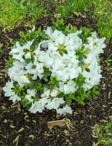 'Delaware Valley White' is an evergreen azalea. It typically grows three to four feet tall over the first 10 years. It has tubular, funnel-shaped, usually single, white flowers that bloom in clusters.