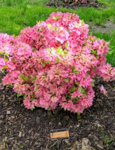 This is Azalea 'Tradition.' It is covered in stunning clusters of pink trumpet-shaped flowers in mid spring. The glossy oval leaves remain dark green throughout the winter.