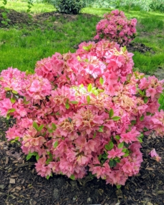 Azaleas thrive in moist, well-drained soils high in organic matter. Morning sun and afternoon shade is ideal. This is Azalea 'Tradition.' It is covered in stunning clusters of pink trumpet-shaped flowers in mid spring. The glossy oval leaves remain dark green throughout the winter.