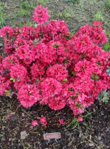 Azaleas have short root systems, so they can easily be transplanted in early spring or early fall. Be careful not to plant too deep and water thoroughly after transplanting. Azalea 'Hino Crimson' features a profusion of single, crimson blooms that appear early and continue through spring. 'Hino Crimson' is one of the hardiest of the semi-dwarf, evergreen azaleas.