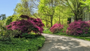 My azalea collection is in a lightly wooded area, where they get filtered sunlight through the day.