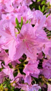Azalea petal shapes vary greatly. They range from narrow to triangular to overlapping rounded petals. They can also be flat, wavy or ruffled. Many azaleas have two to three inch flowers and range in a variety of colors from pink to white to purple, red, orange and yellow.