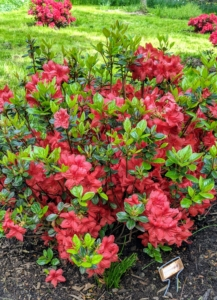 Azalea 'Stewartstonian' is a beautiful, showy shrub with its lovely, orange-red flowers in the spring, and its evergreen foliage during the cold months of the year.