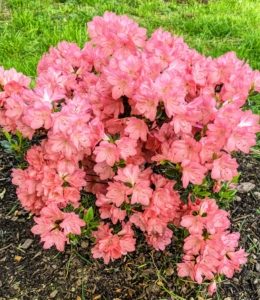 Azalea 'Blaauws Pink' grows up to four feet tall and as wide. It features double, hose-in-hose, salmon-pink flowers in a dense, shrub.