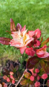 Azalea 'Cannon's Double' is a fabulous deciduous azalea that flowers in late April and with multi-layered petals of peach-pink-red-cream-and a hint of yellow.