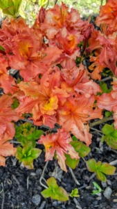 Remember, never eat azaleas. Like its cousin the rhododendron, the azalea is a toxic plant, and all parts of the plant are poisonous, including the honey from the flowers. Azalea Exbury orange is an upright growing deciduous azalea that explodes with giant trusses of vibrant orange flowers in early to mid-May.