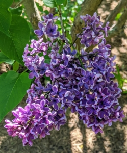 The lilacs are looking so spectacular this season. 'Sensation', first known in 1938, is unique for its bicolor deep-purple petals edged in white on eight to 12-foot-tall shrubs.