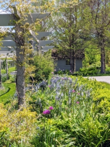 The long pergola will soon be filled with blooming alliums, Spanish Bluebells, and camassia - everything is coming up so beautifully this season.