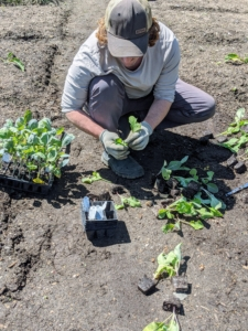 On a separate day, Ryan and Brian plant the brassicas - again, in a different spot from last year. My family and I love these vegetables, so I like to plant a lot of cauliflower, broccoli, cabbage, and kale.