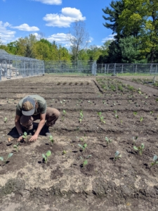 It is very easy to plant in raised beds because of the light, fluffy, well-drained soil, which encourages vigorous plant growth. Brian gets all the brassicas in the ground quickly.