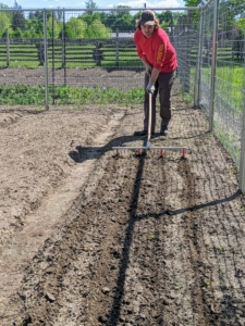 Here is Ryan preparing a raised bed for our fava beans. In my garden, we always practice crop rotation. This is the practice of planting different crops sequentially on the same plot of land to improve soil health, optimize nutrients in the soil, and combat pest and weed pressure.
