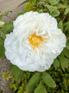 This white variety is a slightly ruffled silken single form. Its flowers are borne in great profusions right at the edge of the garden bed.