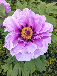 The pink varieties are more fragrant than the darker maroon flowers. This one has slightly ruffled petals with a gold center.