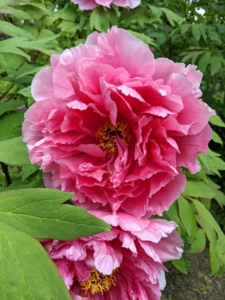 This bold pink peony has enormous semi-double flowers. The petals are somewhat cupped, giving the flower a very full appearance. It also has a light, sweet fragrance.
