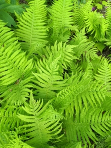 The ferns are looking so vibrant this time of year and they grow taller every day. These graceful perennials are easy to grow, long-lived, and require very little care. They come in a variety of leaf colors, shapes, and sizes. I have many, many ferns here at the farm.