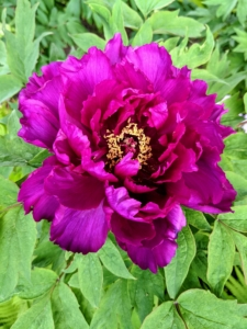 This dark magenta peony is always so eye-catching in the garden. They come in colors that include all ranges of white, pink, yellow, magenta, and dark maroon.