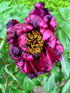 And look at this deep maroon-red peony. The plant is medium tall with strong, sturdy upright stems. It comes into bloom early mid-season and is striking against its green leaves.
