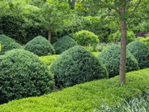The boxwood shrubs down the center of the garden are carefully groomed with tapered tops. Boxwood is naturally a round or oval shaped shrub that can reach up to 15 feet in height. When I first designed this garden, I called it my Boxwood Room. It measures 60 by 120 feet and is surrounded by a tall American boxwood hedge. And because the Summer House faces a rather busy intersection, the wall of boxwood also provides a good deal of privacy. I planted smaller ginkgo trees along both sides of the footpath. The ginkgo biloba is one of the most distinct and beautiful of all deciduous trees.