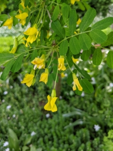Here's a look at the delicate blooms. One to five long-stalked flowers are bundled in leaf axils along the branchlets. Flowers are bright yellow, and about ¾ inch long. The upper petal is broad, mostly ascending with the sides often curled back.