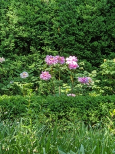 Here's a view from across the bed - I love the varying layers of foliage. The peony is a perennial plant that can survive up to 100-years when it is cultivated under optimal conditions. I look forward to many, many seasons of these most impressive flowers. I'll share more photos from the tree peony garden in an upcoming blog.