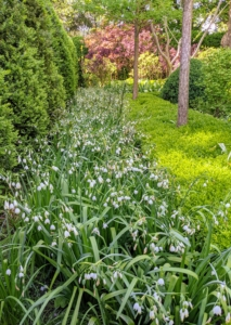 This bed is filled with Leucojum vernum – the spring snowflake, a perennial plant that grows between six to 10 inches in height and blooms heavily in early spring.