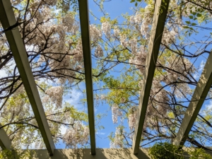 Here they are overhead - so pretty. Wisterias flower best and grow most vigorously where they receive ample sunshine – at least six-hours a day. They thrive in any type of soil, as long as it is well drained.