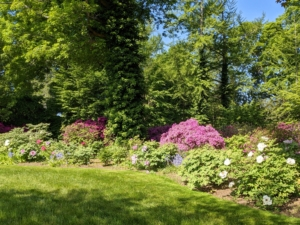...my tree peony garden. I love my curving border of tree peonies, Paeonia suffruticosa. There are very few plants that can compete with a tree peony in full bloom. They flower from late April to early May, but the season often varies from year to year.