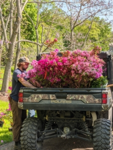 Some of the plants are already blooming. Here is a colleciton of pink azaleas getting ready to move up the road to the tree peony garden. They will be perfect additions to this bed where I already have many azaleas.