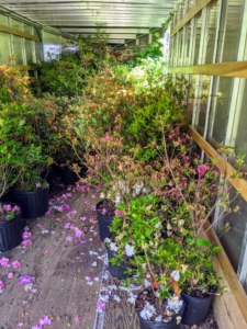 We picked them up the day before in my large trailer - big enough to accommodate more than 200 azalea plants.