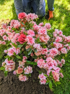 Here it one all planted – and it has a lot of room to grow and spread. Some azaleas, including native types, can reach towering heights of 20 feet or more. Dwarf azaleas grow two to three feet tall, and many garden azaleas stay four to six feet in height with as wide a spread.
