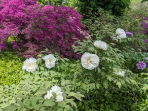 These white peonies are so striking against the green foliage.