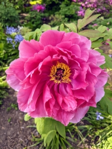This darker pink cultivar has several rows of ruffled petals around a golden interior - another eye catcher in this bed.