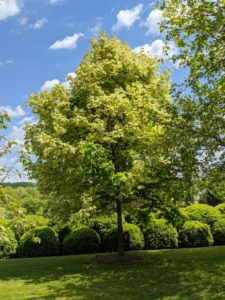 Across from the tree peony garden is this variegated Norway maple showing off its bright green foliage. Below is one side of boxwood enclosing my herbaceous peony bed. This year, everything is looking so lush and green.