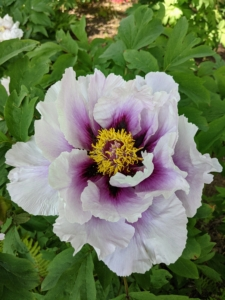 And here is a light pink flower with dark purple and a gold center. Tree peonies are heavy feeders and respond well to a generous, early autumn top dressing of bone meal or rose fertilizer. The high potash content encourages flowers to develop. A light sprinkling of a general fertilizer can also be applied in spring.