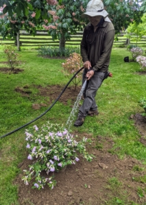 Lastly, Chhiring walks to every azalea and gives it a good thorough drink. Whenever watering, be sure to focus on the root zone - it's the roots that need access to water, not the leaves.