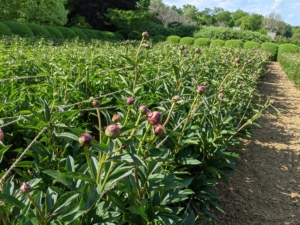 And look at what is about to bloom next... hundreds of stunning pink, cream, and white herbaceous peonies. One of the most anticipated sights at the farm. Just wait for the photos...