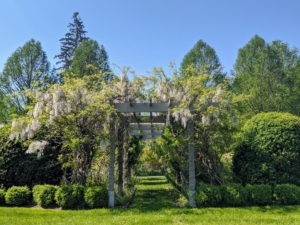 In the center and at the ends of this winding pergola are wisteria standards. Right now, these beauties are cascading over the pergola and giving off the most intoxicating fragrance. Wisteria is valued for its beautiful clusters of flowers that come in purple, pink and white.