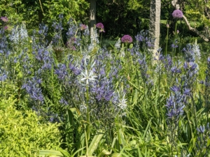 Both shades of blue Camassia look so good growing together in this garden.