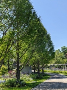 On the the other side of the pergola and across the carriage road - a stand of stately bald cypress trees, now full of gorgeous soft green needle-like foliage.