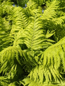 In contrast are the ostrich ferns - a light green clump-forming, upright to arching, rhizomatous, deciduous fern which typically grows up to six feet tall.