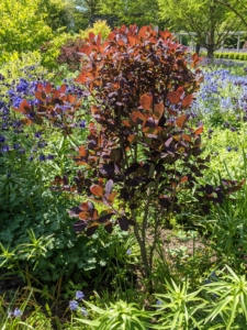 I also have Cotinus in this bed. Cotinus, the smoketree, or smoke bush, is a genus of two species of flowering plants in the family Anacardiaceae, closely related to the sumacs.