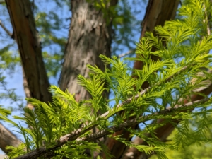 The branches are starting to show new growth. The leaves of the bald cypress are compound and feathery, made up of many small leaflets that are thin and lance-shaped.