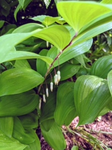 And this is Solomon's Seal – a hardy perennial native to the eastern United States and southern Canada. These plants produce dangling white flowers, which turn to dark-blue berries later in the summer.