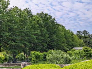 Here is a gorgeous view of the pin oaks taken from the Boxwood Allee. These trees are so stately.