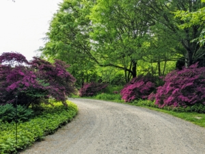 The large old pink azaleas are still flowering with gorgeous deep pink color.
