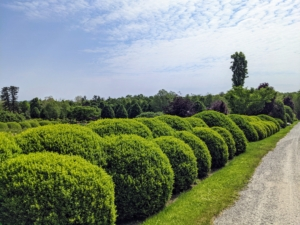 Here are more shapely boxwood shrubs – these surround my massive herbaceous peony bed. Ryan explained how we care for the boxwood and cover all the shrubs with burlap every winter to protect them from the elements.