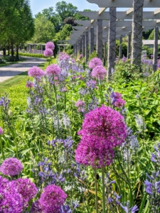 The pergola garden was hard to miss with all its beauty. The purple alliums are so prominent right now. Allium species are herbaceous perennials with flowers produced on scapes. They grow from solitary or clustered bulbs.