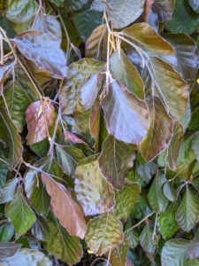 Leaves of this weeping copper beech are purple-colored and turn shades of red in the fall. They are broad and flat with smooth margins, and typically measure about two inches in length.